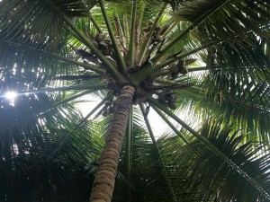 coconuttreegreatviewfromground